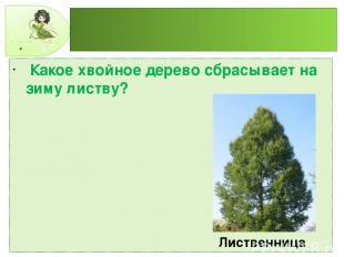 Какое хвойное дерево сбрасывает на зиму листву? Лиственница