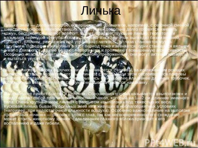 Линька Линька змей — дело непростое, совершенно не сравнимое, например, с сезонной сменой шерстного покрова млекопитающих. «Ползучие» довольно долго готовятся «менять кожу», беспокоятся, теряют аппетит. Время, предшествующее линьке, герпетологи назы…