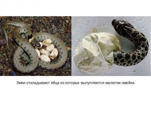 Змеи откладывают яйца из которых вылупляются малютки-змейки.