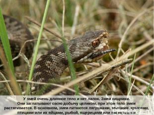 У змей очень длинное тело и нет лапок. Змеи хищники. Они заглатывают свою добычу