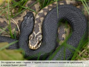 Это ядовитые змеи – гадюки. У гадюки голова немного похожа на треугольник, а окр