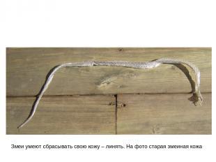 Змеи умеют сбрасывать свою кожу – линять. На фото старая змеиная кожа