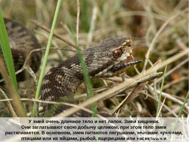 У змей очень длинное тело и нет лапок. Змеи хищники. Они заглатывают свою добычу целиком, при этом тело змеи растягивается. В основном, змеи питаются лягушками, мышами, крысами, птицами или их яйцами, рыбой, ящерицами или насекомыми.