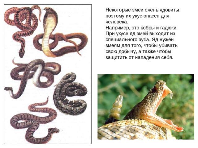 Некоторые змеи очень ядовиты, поэтому их укус опасен для человека. Например, это кобры и гадюки. При укусе яд змей выходит из специального зуба. Яд нужен змеям для того, чтобы убивать свою добычу, а также чтобы защитить от нападения себя.