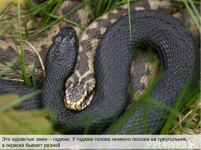 Это ядовитые змеи – гадюки. У гадюки голова немного похожа на треугольник, а окраска бывает разной