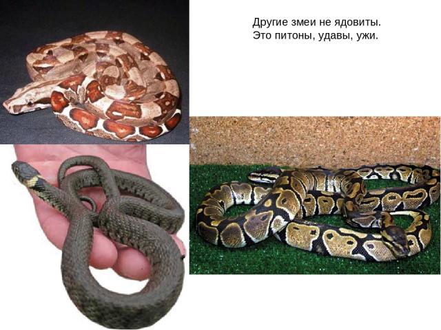Другие змеи не ядовиты. Это питоны, удавы, ужи.