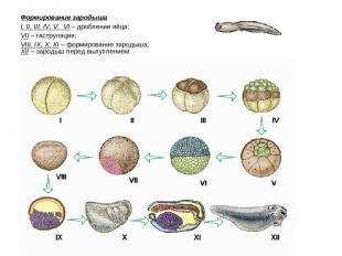 Формирование зародыша I, II, III, IV, V, VI – дробление яйца; VII – гаструляция;