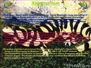 Хвостатые Хвостатые – другой отряд земноводных. Все они имеют вытянутое тело, пе