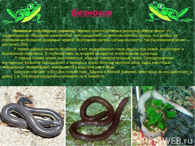 Безногие земноводные (червяги) хорошо приспособлены к роющему образу жизни. Их червеобразное, лишённое конечностей тело разделено на многочисленные кольца, что делает их похожими на больших дождевых червей. Внутренние органы сильно вытянуты. Число п…