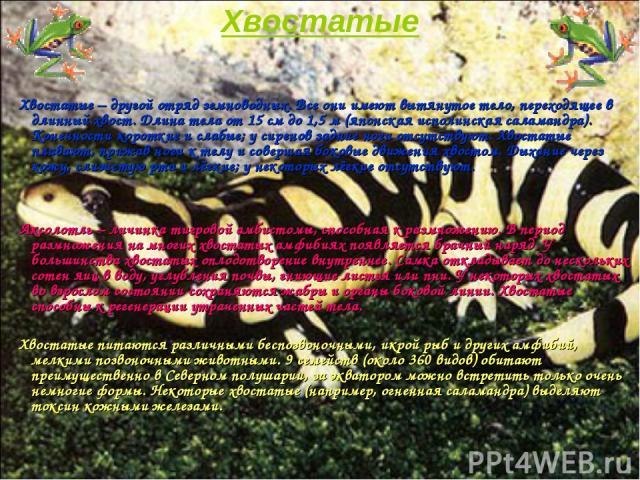 Хвостатые Хвостатые – другой отряд земноводных. Все они имеют вытянутое тело, переходящее в длинный хвост. Длина тела от 15см до 1,5м (японская исполинская саламандра). Конечности короткие и слабые; у сиренов задние ноги отсутствуют. Хвостатые пла…