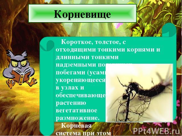 Корневище Короткое, толстое, с отходящими тонкими корнями и длинными тонкими надземными ползучими побегами (усами), укореняющееся в узлах и обеспечивающее растению вегетативное размножение. Корневая система при этом скорее мочковатая .