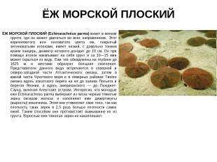 ЁЖ МОРСКОЙ ПЛОСКИЙ ЁЖ МОРСКОЙ ПЛОСКИЙ (Echinarachnius parma) живет в мягком грун