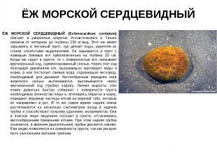 ЁЖ МОРСКОЙ СЕРДЦЕВИДНЫЙ ЁЖ МОРСКОЙ СЕРДЦЕВИДНЫЙ (Echinocardium cordatum) обитает