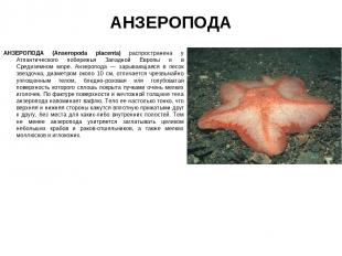 АНЗЕРОПОДА АНЗЕРОПОДА (Anseropoda placenta) распространена у Атлантического побе