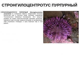 СТРОНГИЛОЦЕНТРОТУС ПУРПУРНЫЙ СТРОНГИЛОЦЕНТРОТУС ПУРПУРНЫЙ (Strongylocentrotus pu