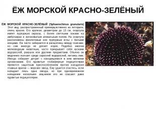 ЁЖ МОРСКОЙ КРАСНО-ЗЕЛЁНЫЙ ЁЖ МОРСКОЙ КРАСНО-ЗЕЛЁНЫЙ (Sphaerechinus granularis) Э