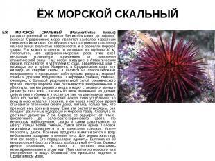 ЁЖ МОРСКОЙ СКАЛЬНЫЙ ЁЖ МОРСКОЙ СКАЛЬНЫЙ (Paracentrotus lividus) распространенный