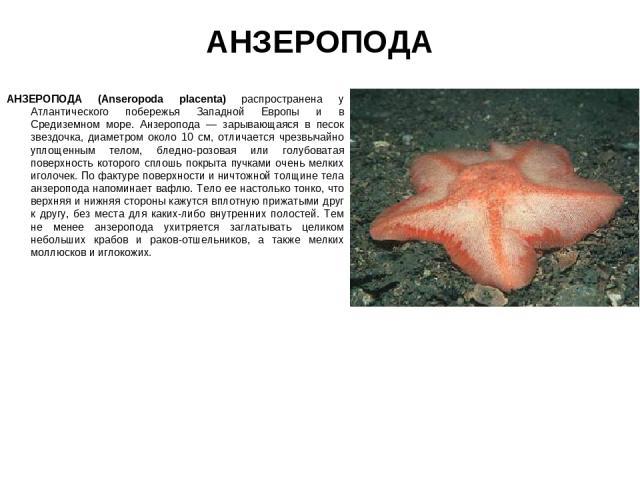 АНЗЕРОПОДА АНЗЕРОПОДА (Anseropoda placenta) распространена у Атлантического побережья Западной Европы и в Средиземном море. Анзеропода — зарывающаяся в песок звездочка, диаметром около 10 см, отличается чрезвычайно уплощенным телом, бледно-розовая и…