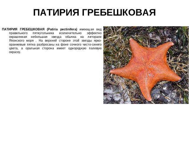 ПАТИРИЯ ГРЕБЕШКОВАЯ ПАТИРИЯ ГРЕБЕШКОВАЯ (Patiria pectinifera) имеющая вид правильного пятиугольника исключительно эффектно окрашенная небольшая звезда обычна на литорали Японского моря . На верхней стороне этой звезды ярко-оранжевые пятна разбросаны…