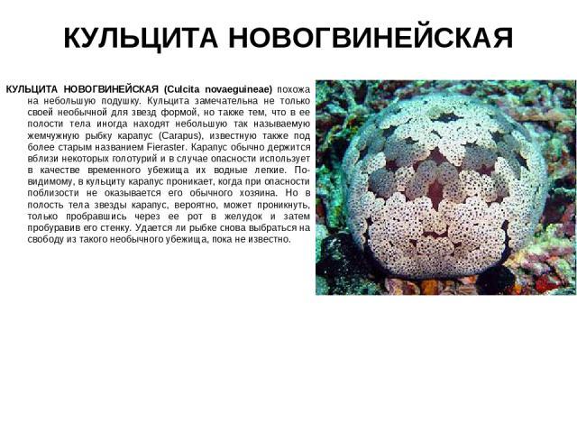КУЛЬЦИТА НОВОГВИНЕЙСКАЯ КУЛЬЦИТА НОВОГВИНЕЙСКАЯ (Culcita novaeguineae) похожа на небольшую подушку. Кульцита замечательна не только своей необычной для звезд формой, но также тем, что в ее полости тела иногда находят небольшую так называемую жемчужн…