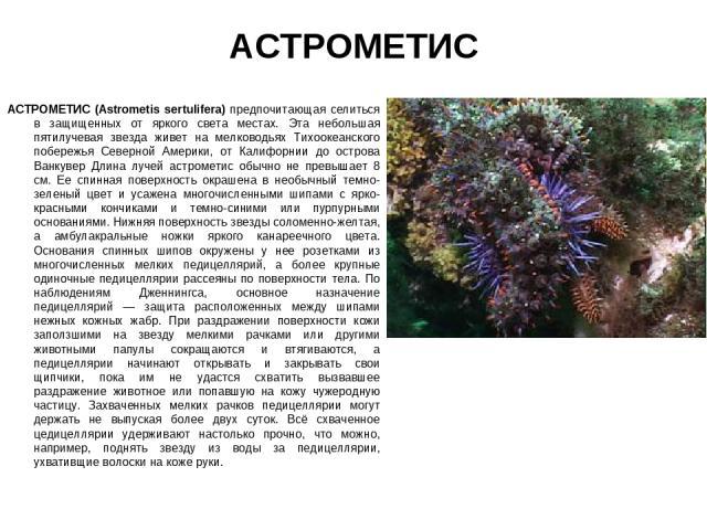 АСТРОМЕТИС АСТРОМЕТИС (Astrometis sertulifera) предпочитающая селиться в защищенных от яркого света местах. Эта небольшая пятилучевая звезда живет на мелководьях Тихоокеанского побережья Северной Америки, от Калифорнии до острова Ванкувер Длина луче…