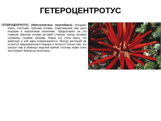 ГЕТЕРОЦЕНТРОТУС ГЕТЕРОЦЕНТРОТУС (Heterocentrotus mammillatus) обладает очень толстыми, грубыми иглами, помогающими ему рыть пещерки в коралловом полипняке. Проделывает он это главным образом иглами ротовой стороны, концы которых снабжены тонкими зуб…