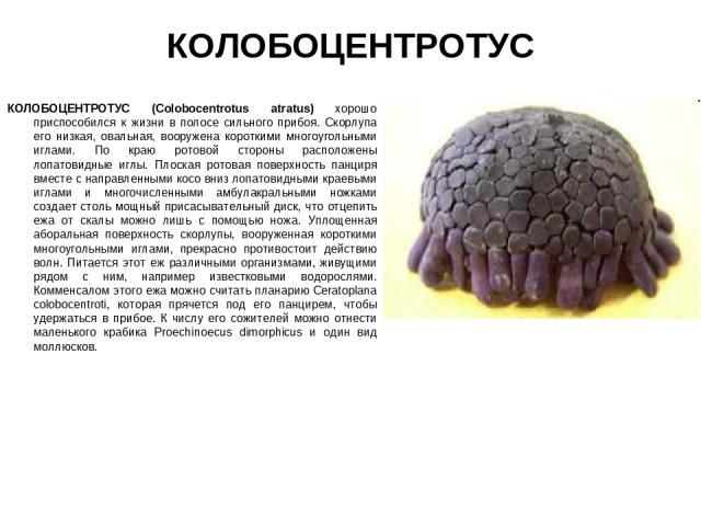КОЛОБОЦЕНТРОТУС КОЛОБОЦЕНТРОТУС (Colobocentrotus atratus) хорошо приспособился к жизни в полосе сильного прибоя. Скорлупа его низкая, овальная, вооружена короткими многоугольными иглами. По краю ротовой стороны расположены лопатовидные иглы. Плоская…