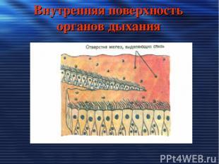Внутренняя поверхность органов дыхания