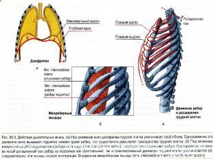 Действие дыхательных мышц: диафрагмы и межреберных