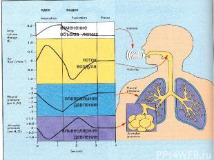 изменение объема легких поток воздуха плевральное давление альвеолярное давление