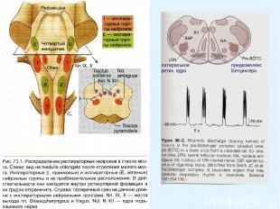 латеральное ретик. ядро предкомплекс Бетцингера