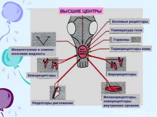 ВЫСШИЕ ЦЕНТРЫ Болевые рецепторы Температура тела Гормоны Терморецепторы кожи Бар