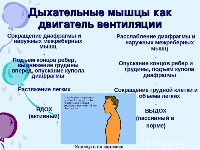 Дыхательные мышцы как двигатель вентиляции Сокращение диафрагмы и наружных межреберных мышц ↓ Подъем концов ребер, выдвижение грудины вперед, опускание купола диафрагмы ↓ Растяжение легких ↓ ВДОХ (активный) Расслабление диафрагмы и наружных межребер…