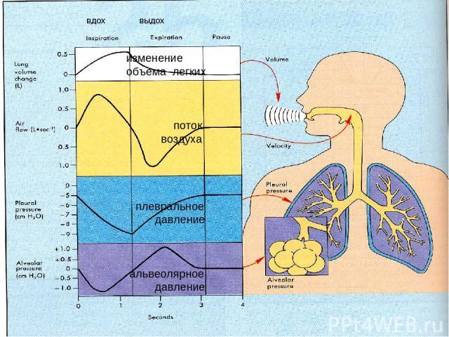 изменение объема легких поток воздуха плевральное давление альвеолярное давление вдох выдох