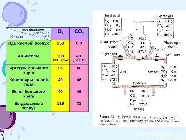 парциальное давление, мм Hg область О2 СО2 Вдыхаемый воздух 158 0,3 Альвеолы 100 (13,3 кПа) 40 (5,3 кПа) Артерии большого круга 95 40 Капилляры тканей тела 40 46 Вены большого круга 40 46 Выдыхаемый воздух 116 32