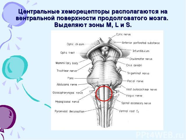 Центральные хеморецепторы располагаются на вентральной поверхности продолговатого мозга. Выделяют зоны M, L и S.