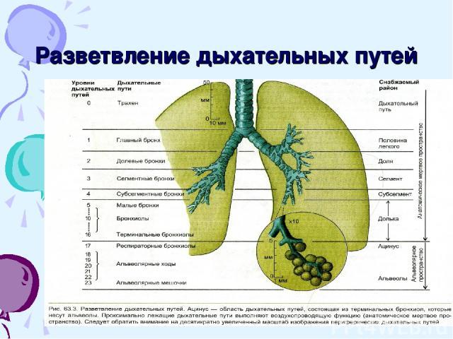 Разветвление дыхательных путей