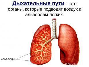 Дыхательные пути – это органы, которые подводят воздух к альвеолам легких. АЛЬВЕ