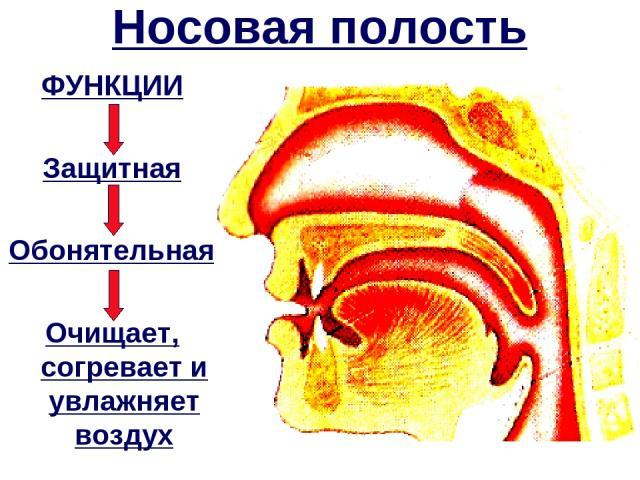 Носовая полость ФУНКЦИИ Защитная Обонятельная Очищает, согревает и увлажняет воздух