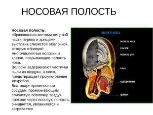 Носовая полость, образованная костями лицевой части черепа и хрящами, выстлана с