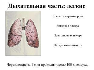 Дыхательная часть: легкие Легочная плевра Легкие – парный орган Пристеночная пле