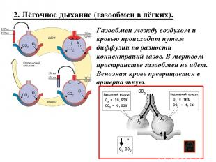 2. Лёгочное дыхание (газообмен в лёгких). Газообмен между воздухом и кровью прои