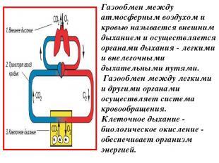 Газообмен между атмосферным воздухом и кровью называется внешним дыханием и осущ