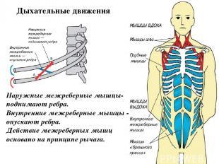 Наружные межреберные мышцы- поднимают ребра. Внутренние межреберные мышцы - опус