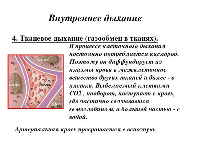 Внутреннее дыхание 4. Тканевое дыхание (газообмен в тканях). В процессе клеточного дыхания постоянно потребляется кислород. Поэтому он диффундирует из плазмы крови в межклеточное вещество других тканей и далее - в клетки. Выделяемый клетками CO2 , н…