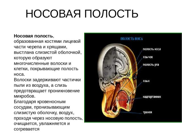 Носовая полость, образованная костями лицевой части черепа и хрящами, выстлана слизистой оболочкой, которую образуют многочисленные волоски и клетки, покрывающие полость носа. Волоски задерживают частички пыли из воздуха, а слизь предотвращает прони…
