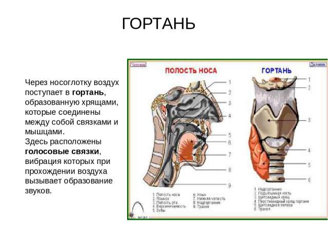Через носоглотку воздух поступает в гортань, образованную хрящами, которые соединены между собой связками и мышцами. Здесь расположены голосовые связки, вибрация которых при прохождении воздуха вызывает образование звуков. ГОРТАНЬ