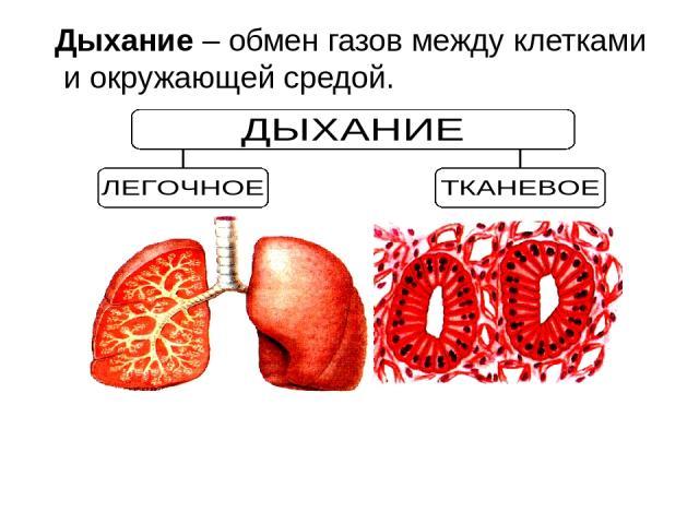 Дыхание – обмен газов между клетками и окружающей средой.