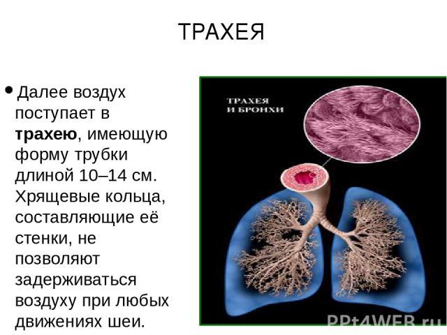 Далее воздух поступает в трахею, имеющую форму трубки длиной 10–14 см. Хрящевые кольца, составляющие её стенки, не позволяют задерживаться воздуху при любых движениях шеи. ТРАХЕЯ
