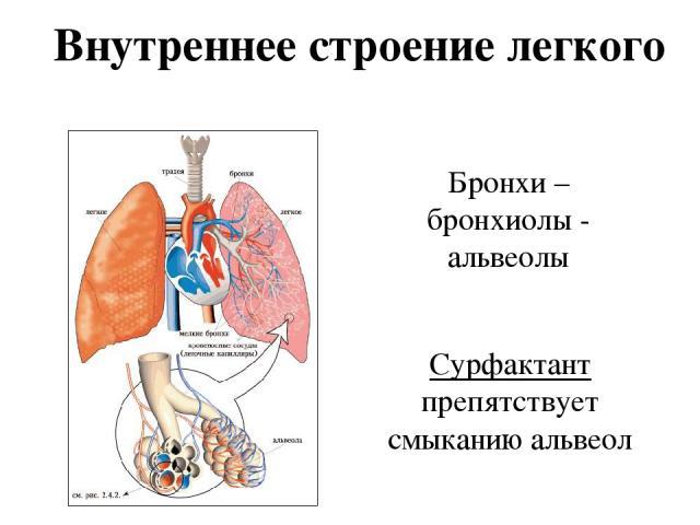 Внутреннее строение легкого Бронхи – бронхиолы - альвеолы Сурфактант препятствует смыканию альвеол